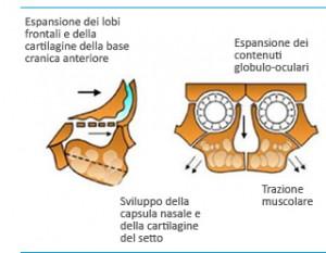 Sviluppo cranico del bambino